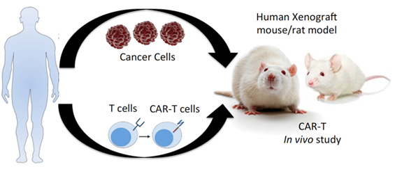 CAR-T preclinical studies in human tumor xenograft mouse/rat model