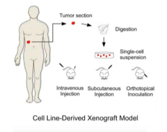 Cell-line-Derived Xenograft Models