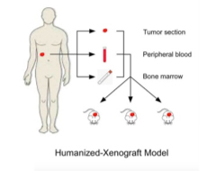 Humanized-Xenograft Models