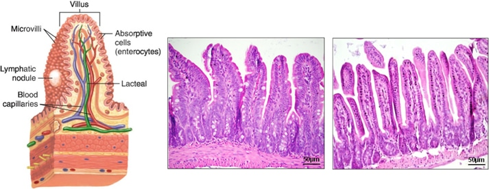 isolation of epithelium from crypts and villi of small intestine, Human Body