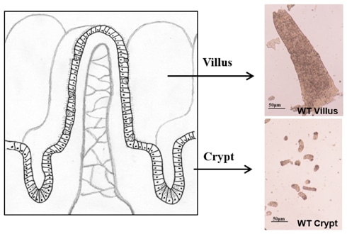 Isolation of epithelium from crypts and villi of small intestine