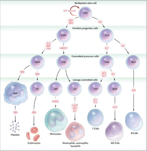 Preclinical Animal Studies for Human Hematopoiesis