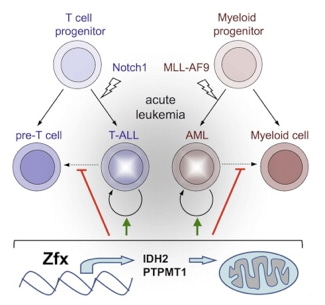 Models of T-cell ALL are caused by Notch-1 activation