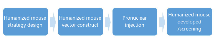 The Workflow of Humanized Mouse Model